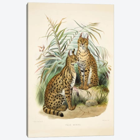 A Monograph Of The Felidae, Or Family Of The Cats By Daniel Giraund XVII Canvas Print #NHM21} by Natural History Museum (UK) Canvas Artwork