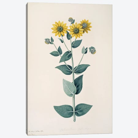 Downy Sunflower Canvas Print #NHM225} by Natural History Museum (UK) Canvas Art