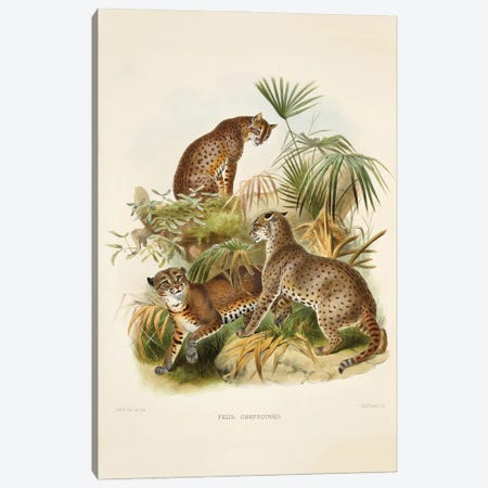 A Monograph Of The Felidae, Or Family Of The Cats By Daniel Giraund XVIII Canvas Print #NHM22} by Natural History Museum (UK) Canvas Wall Art