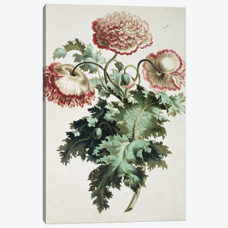 Eastern Poppy, Folio 22 From A Collection Of Flowers (1795) By John Edwards Canvas Print #NHM232} by Natural History Museum (UK) Canvas Wall Art