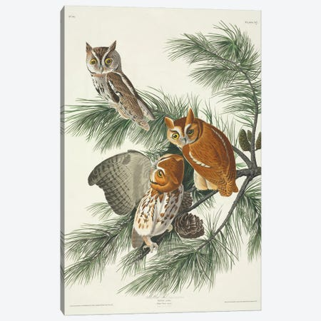 Eastern Screech Owl Canvas Print #NHM233} by Natural History Museum (UK) Canvas Art