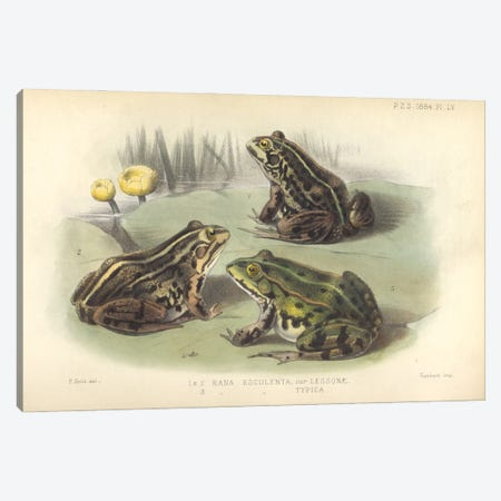 Edible Frog - Smith (Del.), P., Hanhart (Imp) And Proceedings Of The Zoological Society Of London Canvas Print #NHM235} by Natural History Museum (UK) Art Print