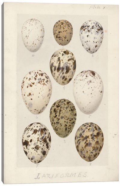 Eggs - Lariformes - From 'Catalogue Of The Collection Of Birds' Eggs In The British Museum'. By Henrik Gronvold Canvas Art Print