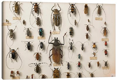 Entomological Specimens From The Wallace Collection Canvas Art Print
