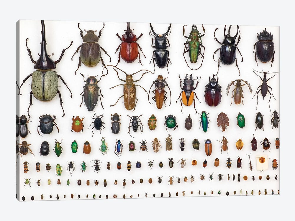 Entomology Specimens by Natural History Museum (UK) 1-piece Canvas Print