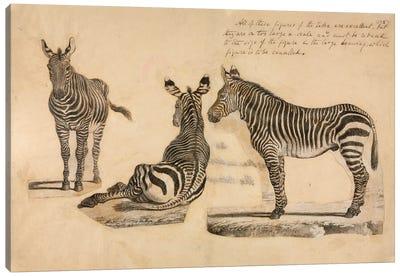 Equus Zebra, Cape Mountain Zebra. Proof Engraving, William Cornwallis Harris, C.1838 Canvas Art Print
