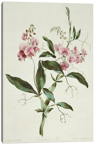 Everlasting Pea, Folio 42 From A Collection Of Flowers (1795) By John Edwards Canvas Art Print