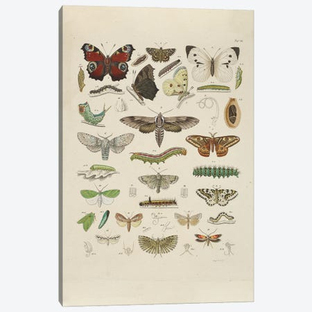 Falter - Butterfly Canvas Print #NHM251} by Natural History Museum (UK) Canvas Wall Art