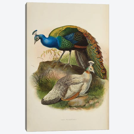 Family Of The Pheasants By Danial Giraud Elliot 1872 Black-Shouldered Pea-Fowl Canvas Print #NHM252} by Natural History Museum (UK) Canvas Wall Art