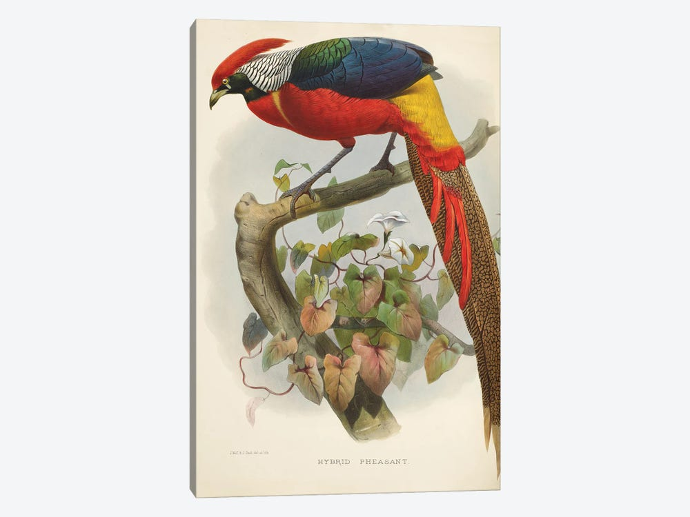 Family Of The Pheasants By Danial Giraud Elliot 1872 Hybrid Pheasant by Natural History Museum (UK) 1-piece Canvas Wall Art