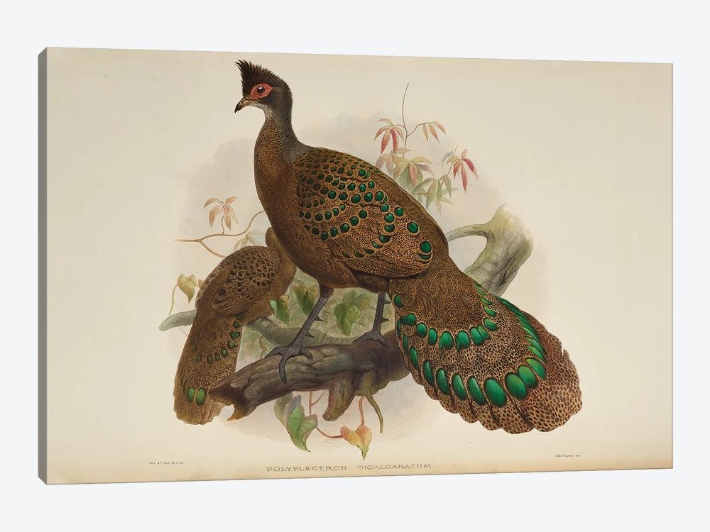 Family Of The Pheasants By Danial Giraud Elliot 1872 Iris Polyplectron by Natural History Museum (UK) 1-piece Canvas Print