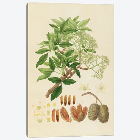 Flindersia Australis, Crow Ash Tree Canvas Print #NHM265} by Natural History Museum (UK) Canvas Artwork