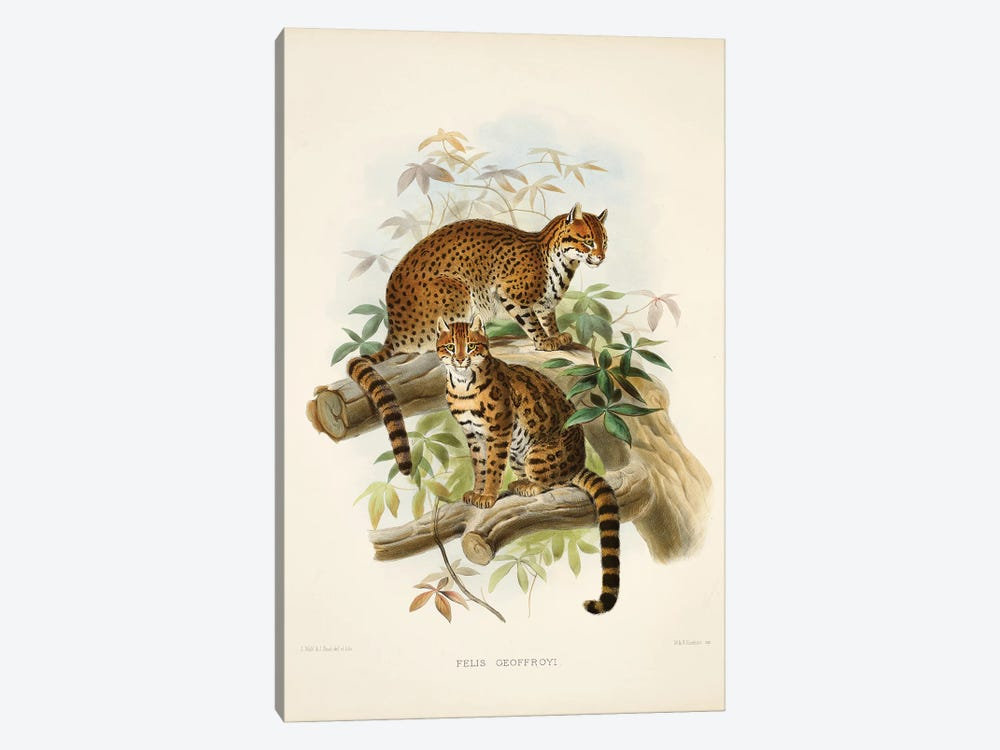 A Monograph Of The Felidae, Or Family Of The Cats By Daniel Giraund XXIII by Natural History Museum (UK) 1-piece Canvas Print