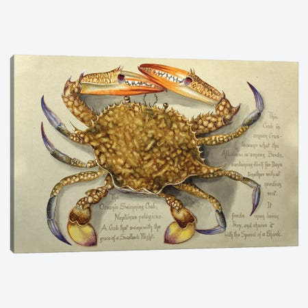 Flower Crab Canvas Print #NHM270} by Natural History Museum (UK) Canvas Wall Art