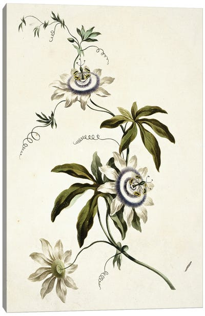 Folio 11 From A Collection Of Flowers By John Edwards Canvas Art Print