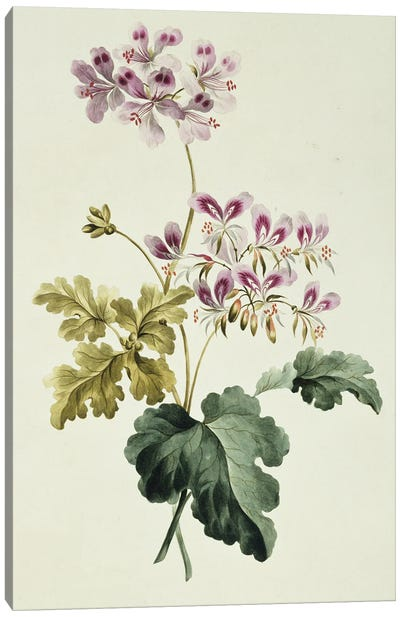 Folio 19 From A Collection Of Flowers By John Edwards Canvas Art Print