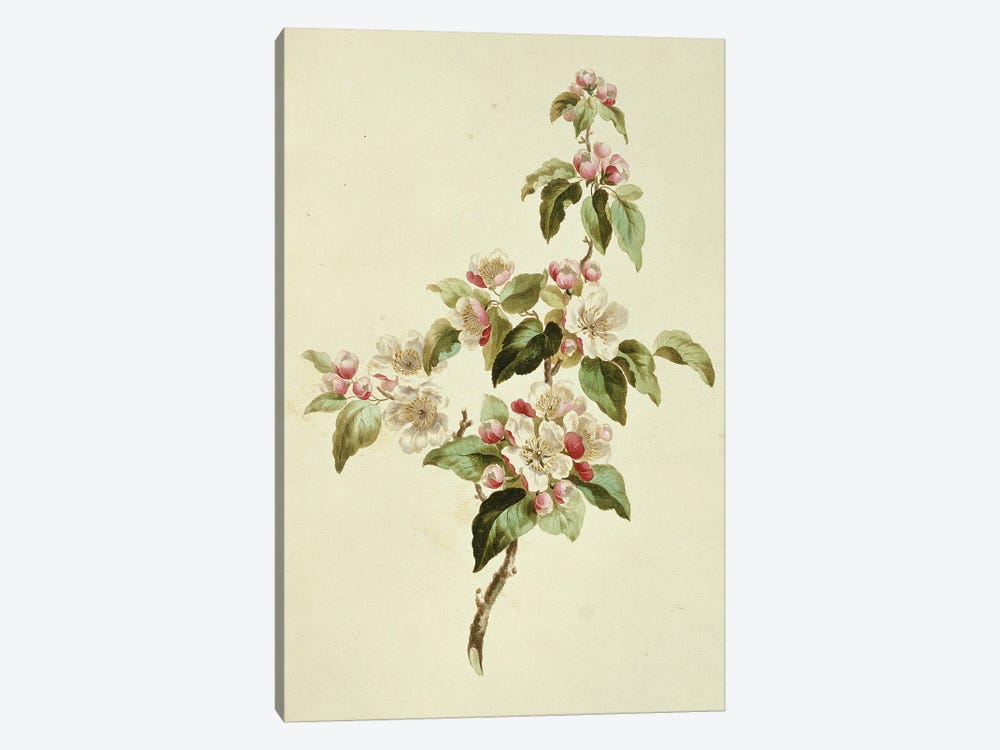Folio 7 From A Collection Of Flowers By John Edwards by Natural History Museum (UK) 1-piece Canvas Art