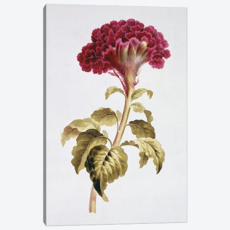 Folio 70 From A Collection Of Flowers By John Edwards Canvas Print #NHM282} by Natural History Museum (UK) Canvas Art Print