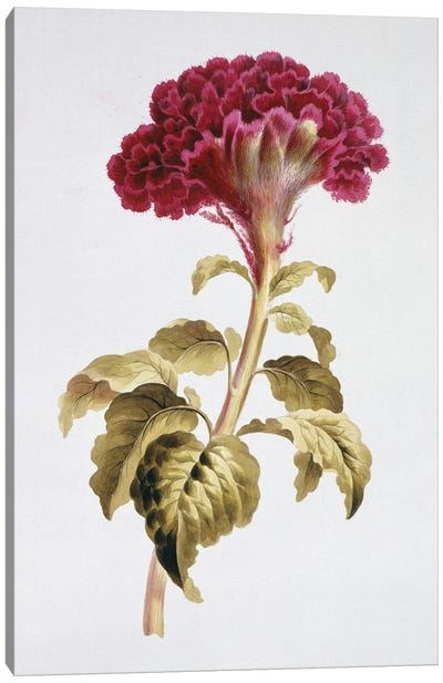 Folio 70 From A Collection Of Flowers By John Edwards Canvas Art Print