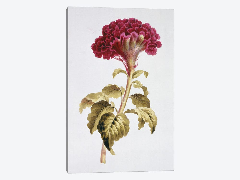 Folio 70 From A Collection Of Flowers By John Edwards by Natural History Museum (UK) 1-piece Art Print