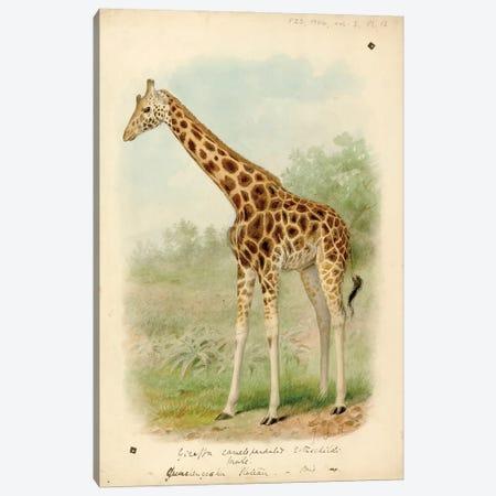 Giraffe VI Canvas Print #NHM298} by Natural History Museum (UK) Canvas Art