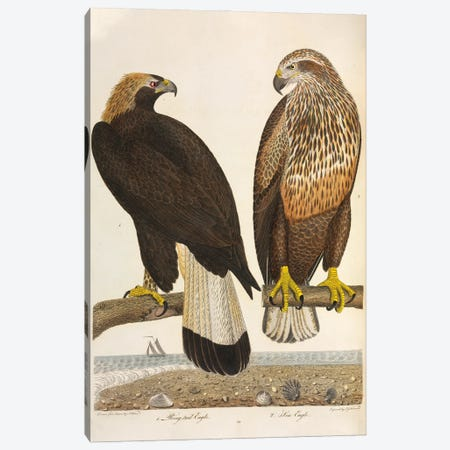 Golden Eagle And Bald Eagle Canvas Print #NHM301} by Natural History Museum (UK) Canvas Wall Art