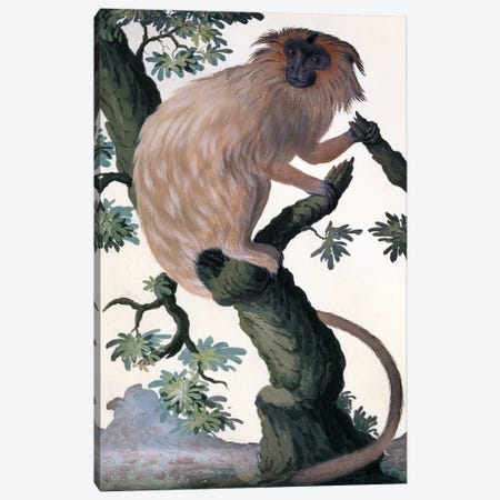 Golden Lion Tamarin Canvas Print #NHM303} by Natural History Museum (UK) Canvas Artwork