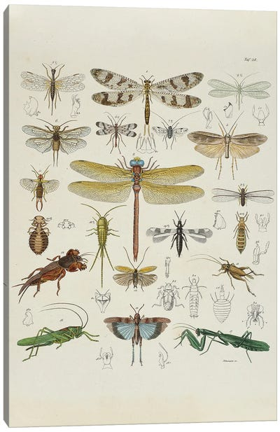 Grasshoppers, Locusts And Crickets Canvas Art Print