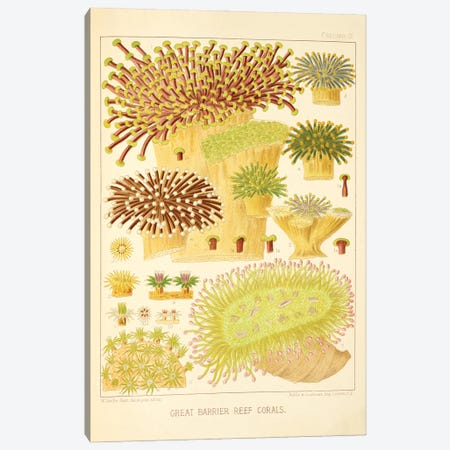 Great Barrier Reef Corals Chromo Plate IV Canvas Print #NHM308} by Natural History Museum (UK) Canvas Artwork