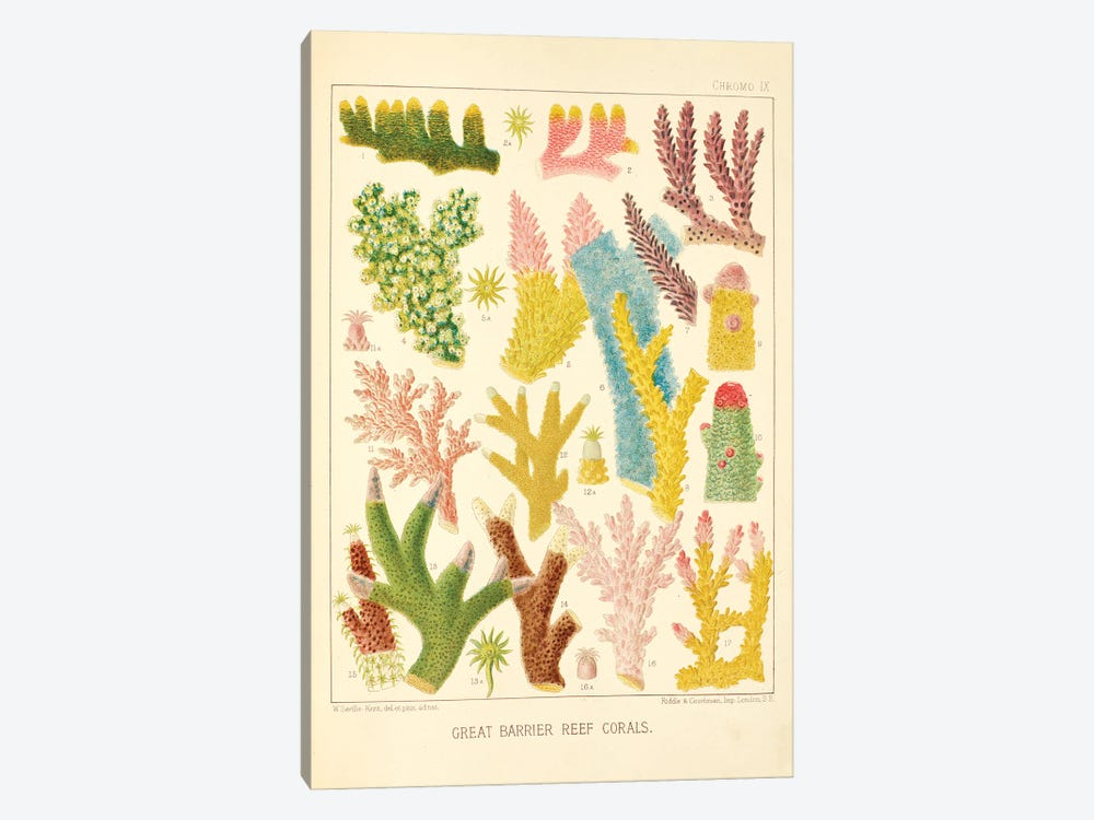 Great Barrier Reef Corals Chromo Plate IX by Natural History Museum (UK) 1-piece Canvas Print