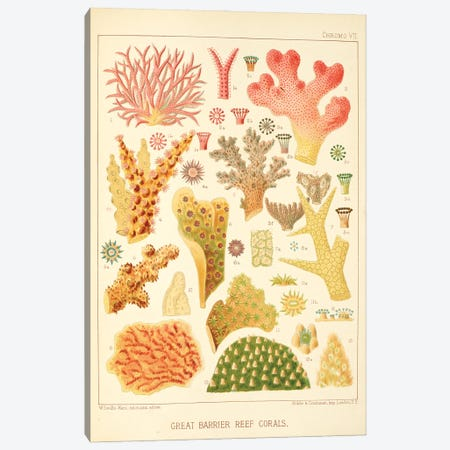 Great Barrier Reef Corals Chromo Plate VII Canvas Print #NHM312} by Natural History Museum (UK) Canvas Art Print