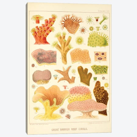 Great Barrier Reef Corals Chromo Plate VIII Canvas Print #NHM313} by Natural History Museum (UK) Art Print