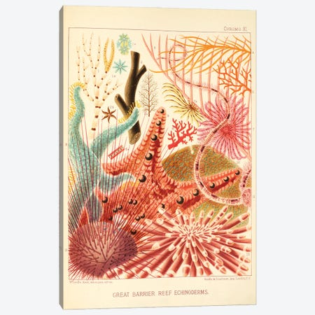 Great Barrier Reef Echinoderms Chromo Plate XI Canvas Print #NHM314} by Natural History Museum (UK) Canvas Art