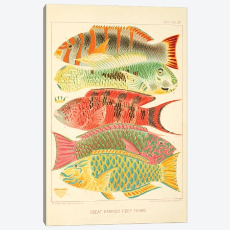 Great Barrier Reef Fishes Chromo Plate XV Canvas Print #NHM315} by Natural History Museum (UK) Canvas Wall Art