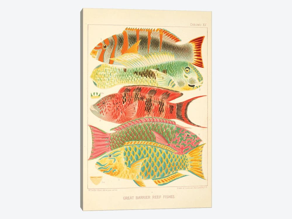 Great Barrier Reef Fishes Chromo Plate XV by Natural History Museum (UK) 1-piece Canvas Art