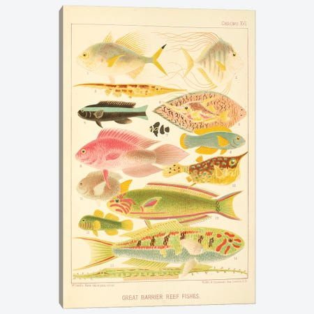 Great Barrier Reef Fishes Chromo Plate XVI Canvas Print #NHM316} by Natural History Museum (UK) Canvas Wall Art