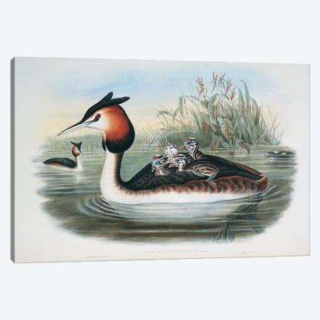 Great Crested Grebe By John Gould Richter Canvas Print #NHM318} by Natural History Museum (UK) Canvas Art Print