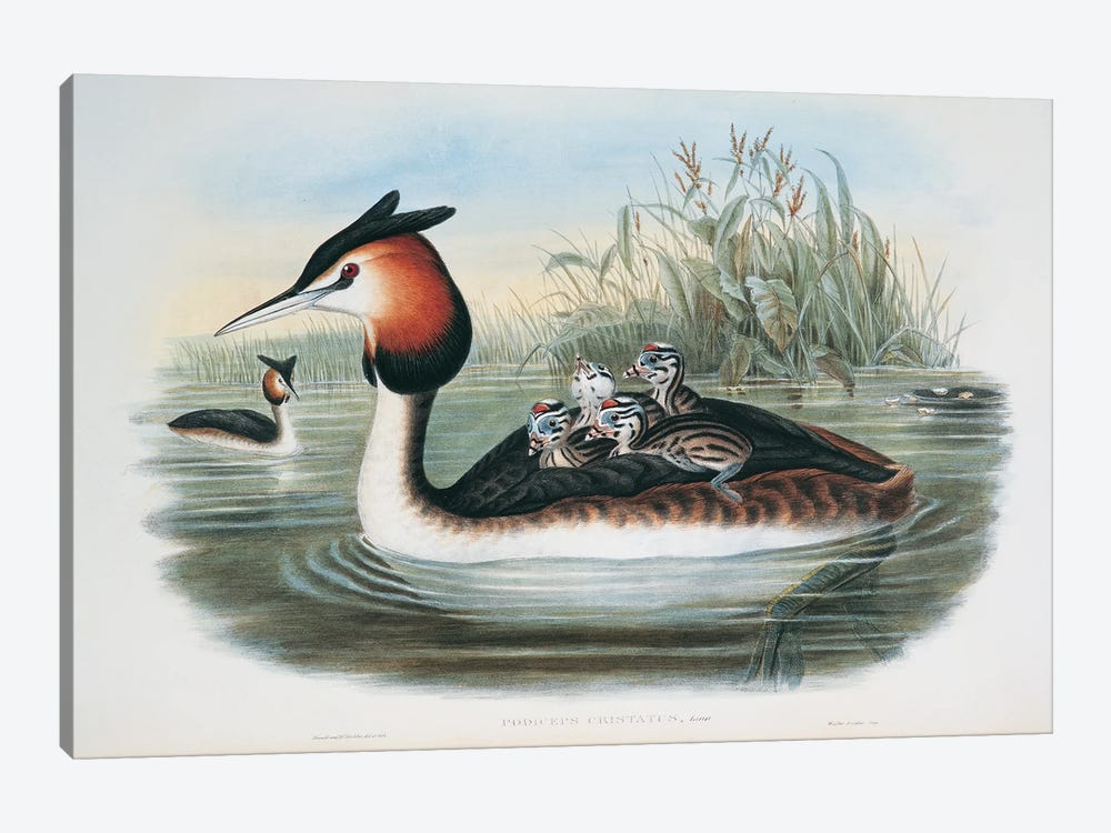 Great Crested Grebe By John Gould Richter by Natural History Museum (UK) 1-piece Canvas Print