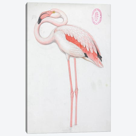 Greater Flamingo - Birds Of Great Britian Canvas Print #NHM319} by Natural History Museum (UK) Canvas Print