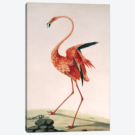 Greater Flamingo, Watercolour By Sarah Stone (1788) From The Collection Of Sir Ashton Lever Canvas Print #NHM321} by Natural History Museum (UK) Canvas Art