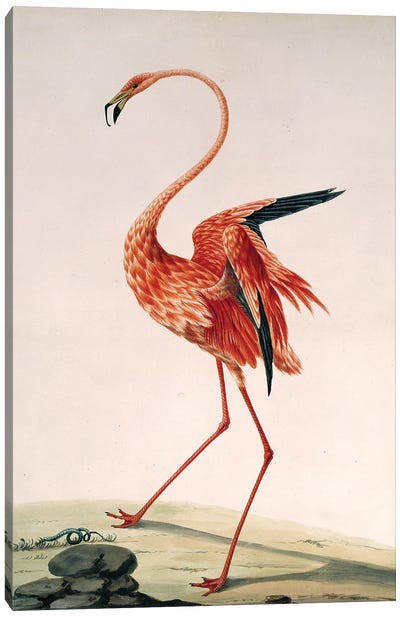Greater Flamingo, Watercolour By Sarah Stone (1788) From The Collection Of Sir Ashton Lever Canvas Art Print