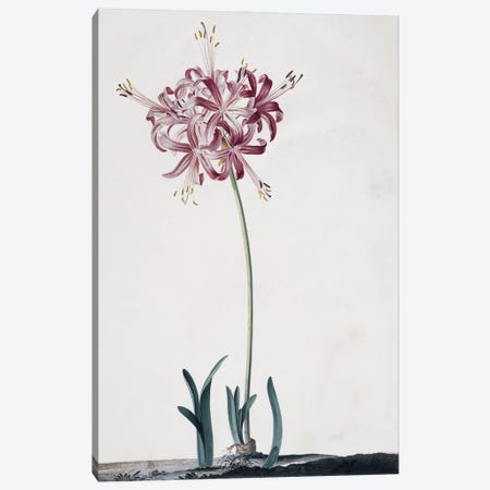 Guernsey Lily, Image From The Chelsea Gardener Philip Miller (1990) By Hazel Le Rougetel, Plate 1 Canvas Print #NHM333} by Natural History Museum (UK) Canvas Art Print