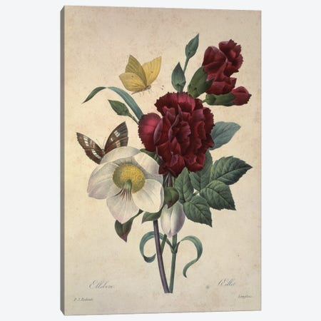 Hellebore, Plate 137 By Pierre-Joseph Redoute Canvas Print #NHM334} by Natural History Museum (UK) Canvas Wall Art