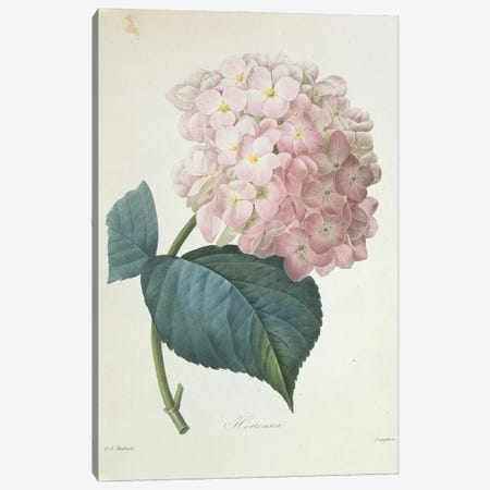 Hydrangea Hortensis, French Hydrangea By Pierre Joseph Redoute Canvas Print #NHM341} by Natural History Museum (UK) Canvas Wall Art