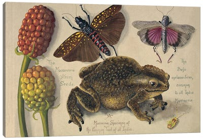 A Mussoorie Specimen Of The Common Toad Of All India Canvas Art Print