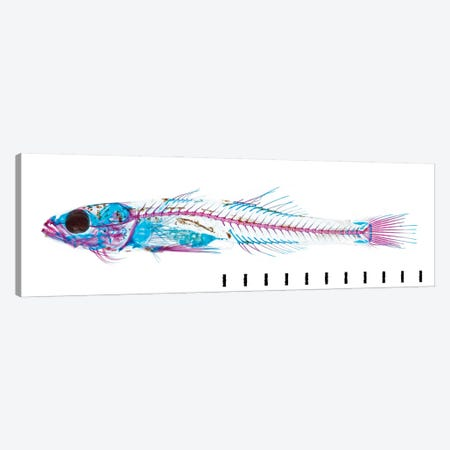 Juvenile Goby I Canvas Print #NHM367} by Natural History Museum (UK) Canvas Print