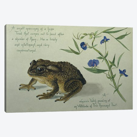 A Small Specimen Of A Huge Toad That Comes Out To Feed After A Shower Of Rain Canvas Print #NHM36} by Natural History Museum (UK) Canvas Artwork