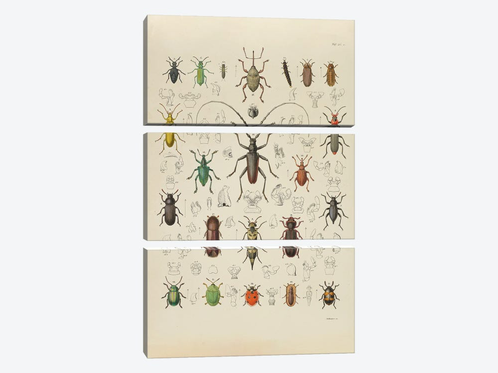 Käfer - Beetle I by Natural History Museum (UK) 3-piece Canvas Print