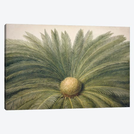 A Watercolour Illustration Of A Sago Palm. Original Artwork Part Of The James Yates (1789-1871) Canvas Print #NHM37} by Natural History Museum (UK) Canvas Art