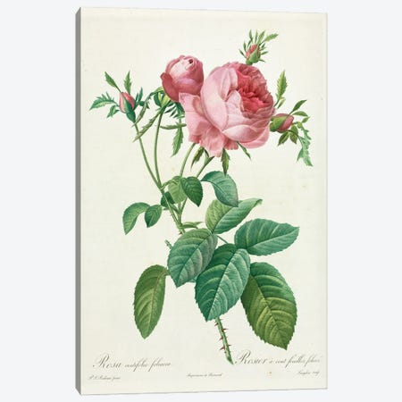 Leafy Rose, Painting By Pierre Joseph Redoute (1759-1840) Canvas Print #NHM384} by Natural History Museum (UK) Canvas Art Print